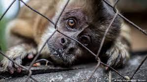 تاثیر ویروس کرونا برقاچاق حیات وحش