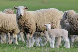 آشنایی با برخی از شایع ترین بیماری های گوسفندان